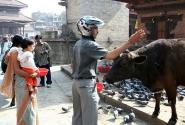 Священные коровы. Центр Катманду